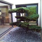 Pin taillé en topiaire dans un jardin zen